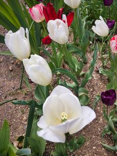 2020/4/14 前日の強雨に耐えた花、チューリップの写真素材 [FYI04304882]