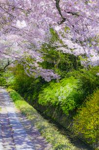 桜咲く哲学の道の写真素材 [FYI04304912]