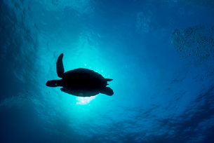 アオウミガメのシルエットの写真素材 [FYI04305087]
