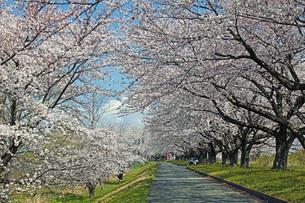 桜並木の写真素材 [FYI04305149]