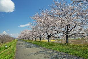 桜並木の写真素材 [FYI04305151]