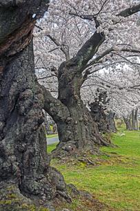 桜の写真素材 [FYI04305163]