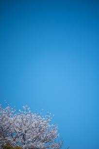 青空と桜の木の写真素材 [FYI04305181]