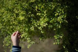 葉っぱに触る子供の手の写真素材 [FYI04305185]