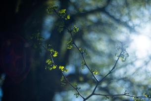 光を浴びる銀杏の葉の写真素材 [FYI04305187]