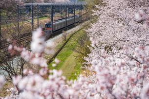 満開の桜と北総線下り電車 白井駅~西白井駅の写真素材 [FYI04305189]
