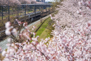 満開の桜と北総線上り電車 白井駅~西白井駅の写真素材 [FYI04305198]