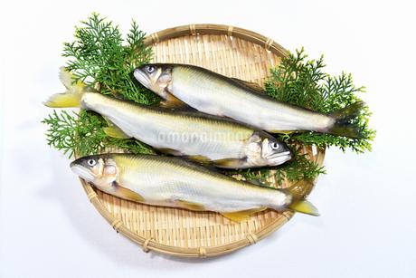 料理する前の鮎の写真素材 [FYI04305479]
