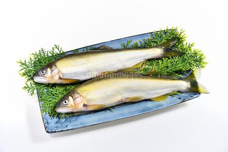 料理する前の鮎の写真素材 [FYI04305481]
