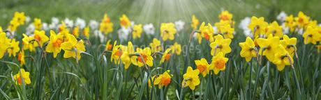 バナーサイズに切り抜いた水仙の花壇画像の写真素材 [FYI04305677]