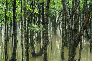 マングローブの森の写真素材 [FYI04305687]