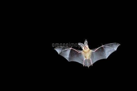 ウサギコウモリの飛翔(北海道・鶴居村)の写真素材 [FYI04305693]