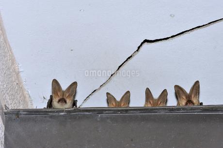 ウサギコウモリのねぐら(北海道・鶴居村)の写真素材 [FYI04305694]