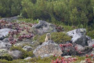 エゾナキウサギと草紅葉(北海道・大雪山)の写真素材 [FYI04305695]