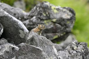 エゾナキウサギ(北海道・鹿追町)の写真素材 [FYI04305696]