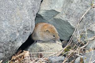 岩の隙間から出てきたエゾヤチネズミ(北海道・知床)の写真素材 [FYI04305698]