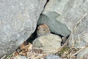 岩の隙間から顔を出したエゾヤチネズミ(北海道・知床)の写真素材 [FYI04305699]