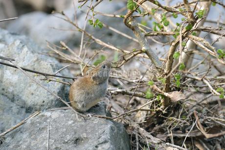 木の芽を食べるエゾヤチネズミ(北海道・知床)の写真素材 [FYI04305700]