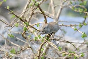 木に登って芽を食べるエゾヤチネズミ(北海道・知床)の写真素材 [FYI04305701]