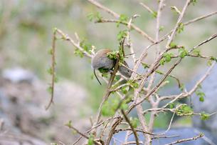 木に登って芽を食べるエゾヤチネズミ(北海道・知床)の写真素材 [FYI04305703]