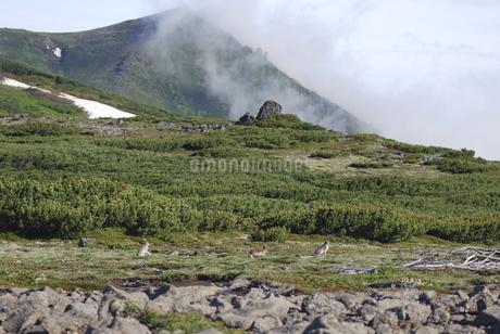 エゾユキウサギの兄弟(北海道・大雪山)の写真素材 [FYI04305704]