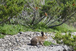 エゾユキウサギ(北海道・大雪山)の写真素材 [FYI04305705]