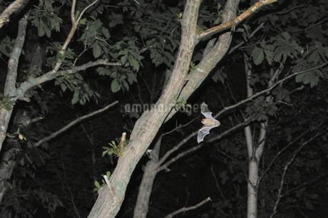 キタクビワコウモリの飛翔(北海道・知床)の写真素材 [FYI04305710]