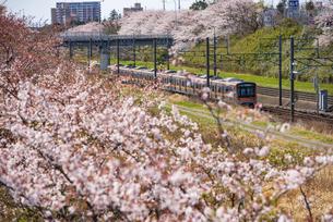 満開の桜並木の中を走る北総線上り電車 白井駅~西白井駅の写真素材 [FYI04305809]