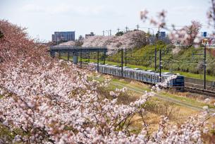 満開の桜並木と北総線 白井駅~西白井駅の写真素材 [FYI04306084]