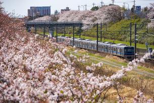 満開の桜並木と北総鉄道 普通列車上り 白井駅~西白井駅の写真素材 [FYI04306088]