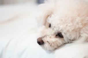 眠そうな犬の写真素材 [FYI04306093]
