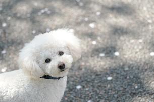 こちらを見つめる犬の写真素材 [FYI04306094]