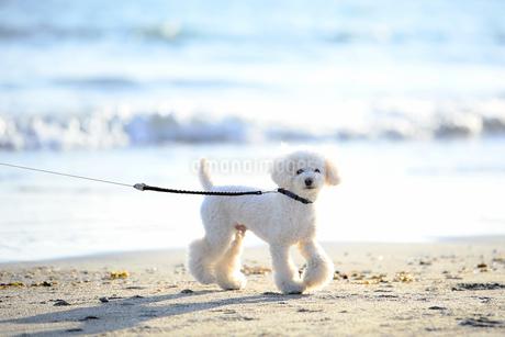砂浜を歩く犬の写真素材 [FYI04306099]