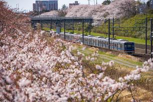 満開の桜並木と北総鉄道普通列車上り 西白井駅~白井駅の写真素材 [FYI04306152]