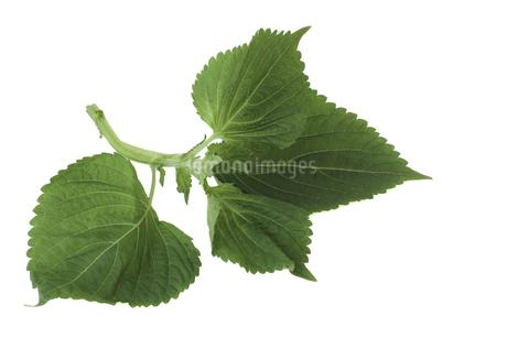 白背景のエゴマの葉の写真素材 [FYI04306264]