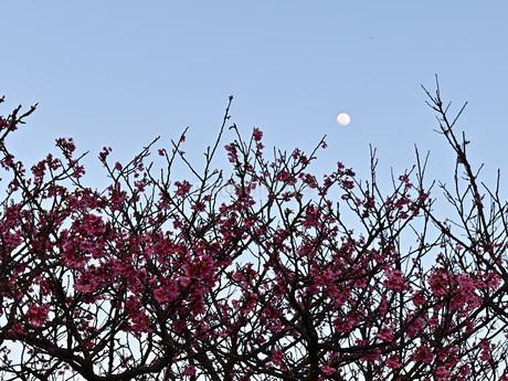 昇ったばかりの月と緋寒桜の写真素材 [FYI04306273]