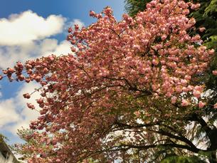 2020春 晴れの日と綺麗な桜 の写真素材 [FYI04306361]