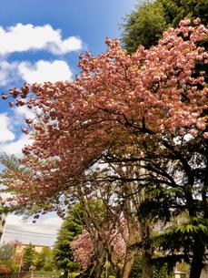 2020春 晴れの日と綺麗な桜 の写真素材 [FYI04306384]