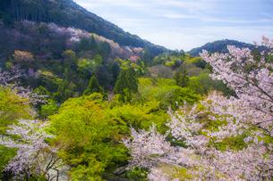 桜咲く春の清水寺・子安塔の写真素材 [FYI04306877]