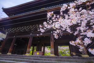 春の知恩院・三門の写真素材 [FYI04306901]