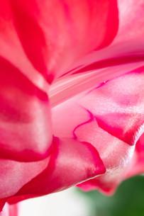 赤いサボテンの花のクローズアップの写真素材 [FYI04307046]
