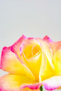 白背景のピンクの縁取りのある黄色いバラの写真素材 [FYI04307053]
