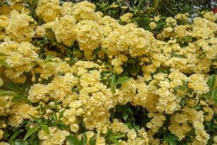 春に咲いた黄色のモッコウバラの写真素材 [FYI04307138]