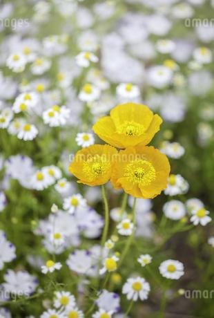 黄色のポピーとカモミールの写真素材 [FYI04307236]