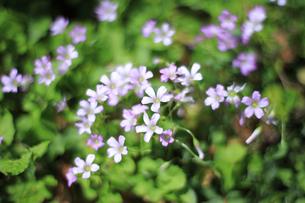 早春を彩るムラサキカタバミの写真素材 [FYI04307237]