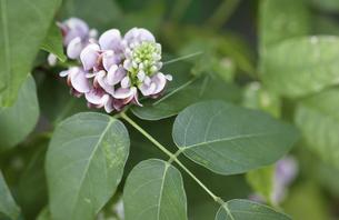 アピオス(アメリカほど芋)の花と葉の写真素材 [FYI04307239]