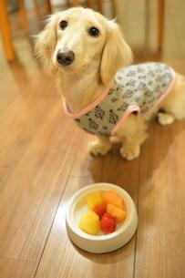 待てをする犬の写真素材 [FYI04307727]