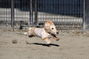 走る犬の写真素材 [FYI04307728]