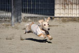 走る犬の写真素材 [FYI04307729]