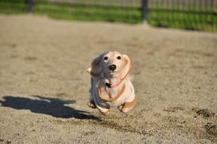 走る犬の写真素材 [FYI04307730]